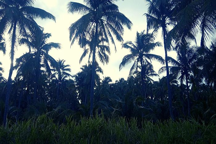 Pedernales to Cojimies Drive Coconuts