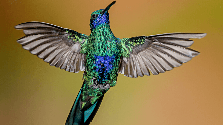 Sparkling Violet-ear Colibri coruscans