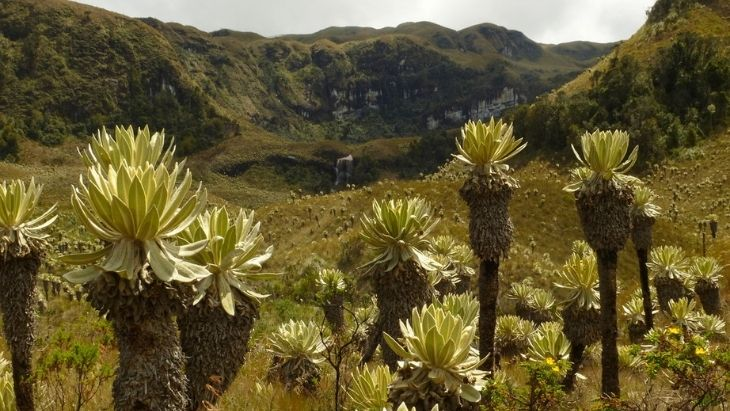 Espeletia in Páramo Ecuador High Andes FAQs