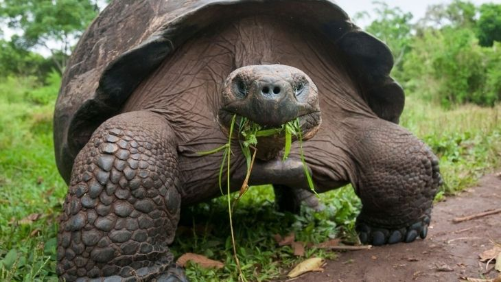 Giant Tortoise Ecuador Facts