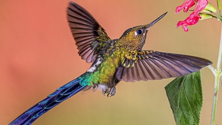 Violet-tailed Sylph Hummingbird Ecuador Facts