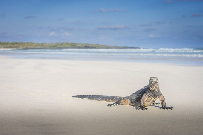 Marine iguana making the most of the alone time