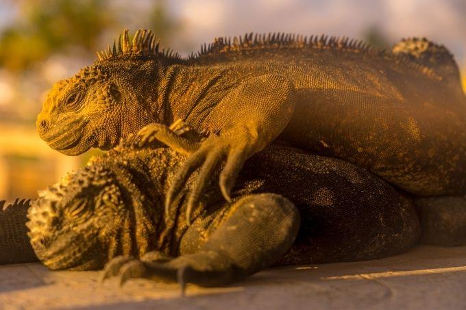 Sleeping marine iguanas
