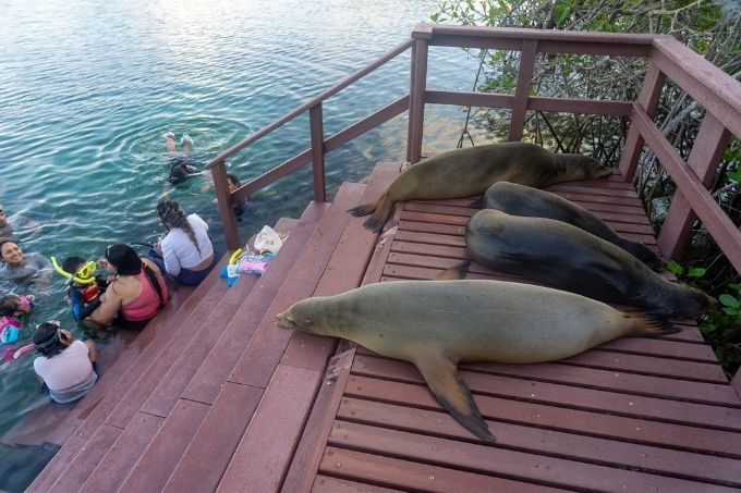 Sea lions hanging out with snorkelers
